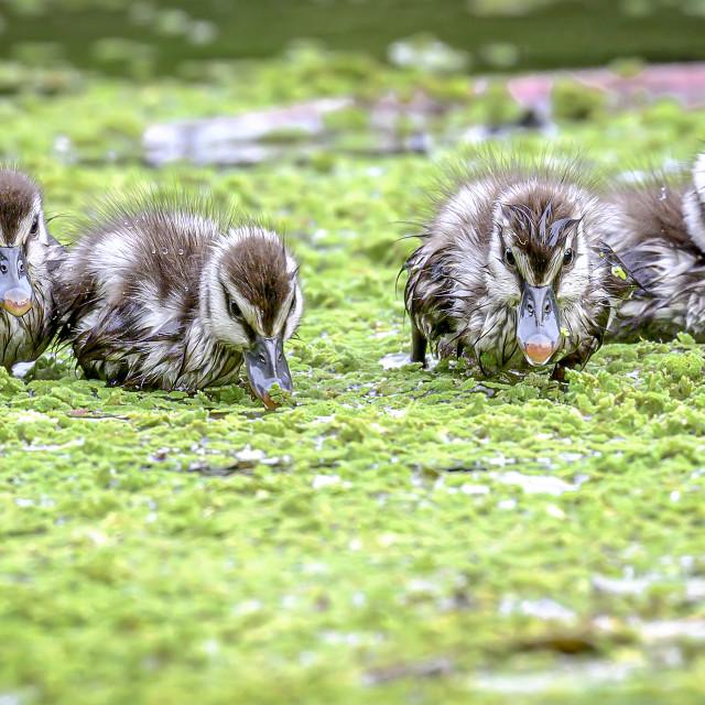 """""""Lesser Whistling Ducklings 02"""" stock image"""