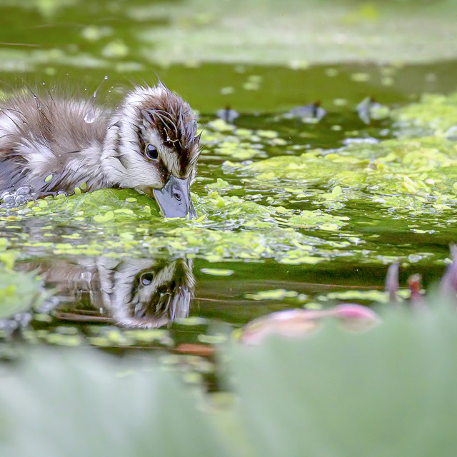 """Lesser Whistling Duckling 04"" stock image"