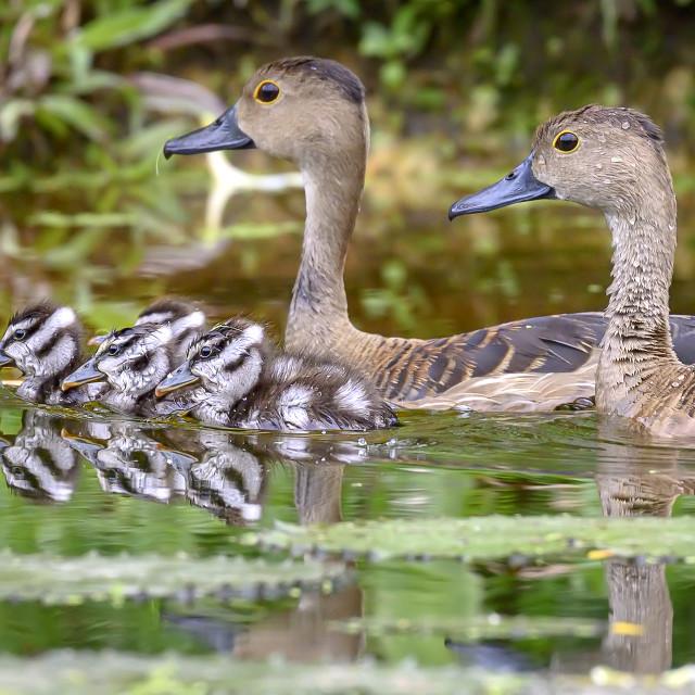 """""""Lesser Whistling Ducklings 06"""" stock image"""