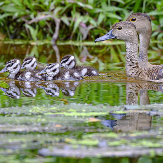 """""""Lesser Whistling Ducklings 07"""" stock image"""