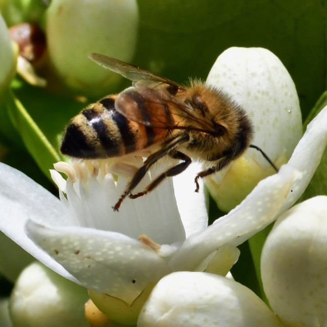 """Bee on orange blossom"" stock image"