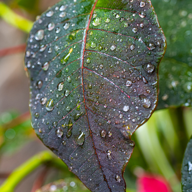 """""""water droplets on a leaf"""" stock image"""
