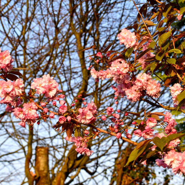 """""""Blossom Tree in Spring."""" stock image"""