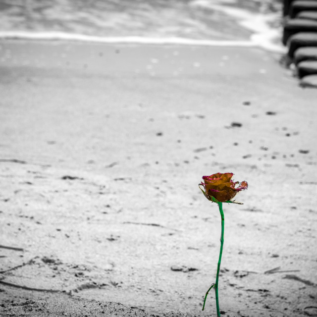 """""""A Rose alone"""" stock image"""