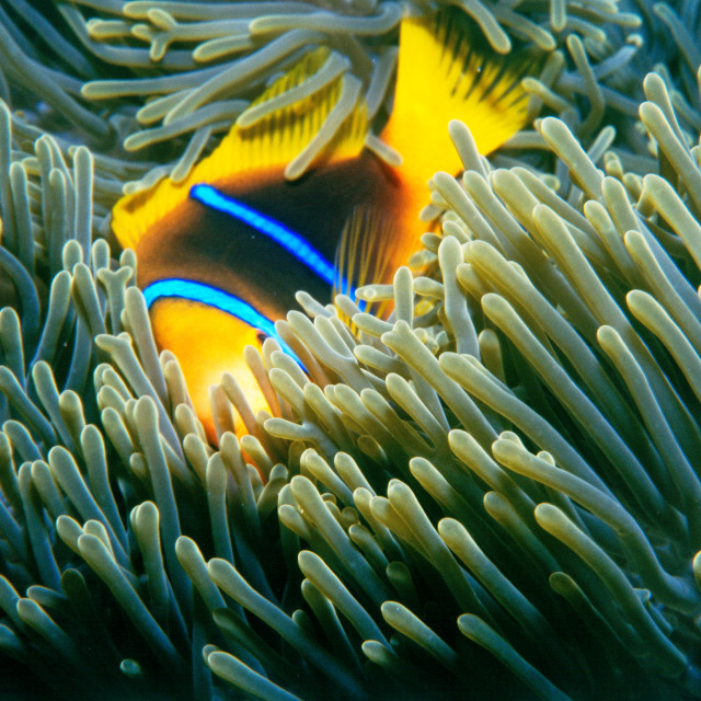 """Anemone Fish"" stock image"