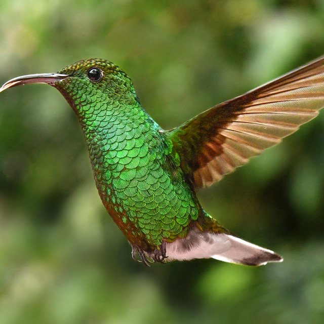 """Coppery Headed Emerald Hummingbird 01"" stock image"