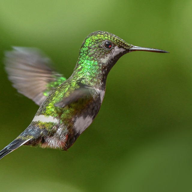 """Green Thorntail Hummingbird"" stock image"