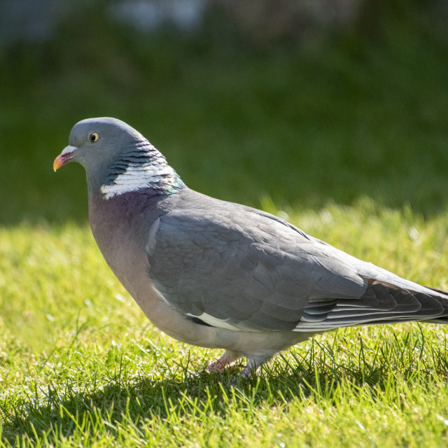 """Wood Pigeon"" stock image"