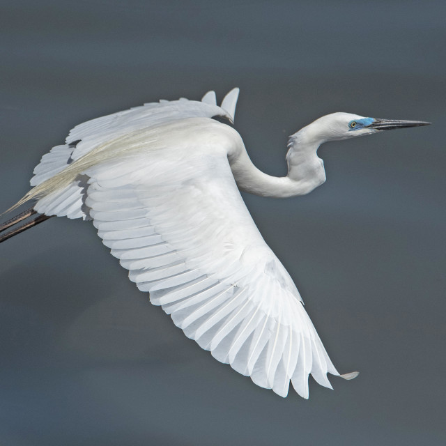 """Great White Egret (VII)"" stock image"