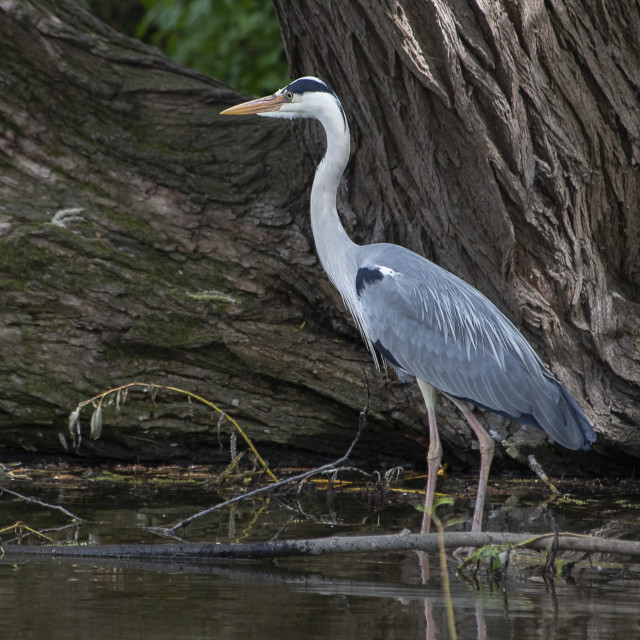 """Grey Heron Listening"" stock image"