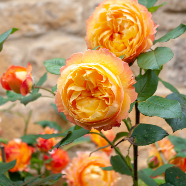 """Abundance of orange roses blooming against Cotswold wall."" stock image"