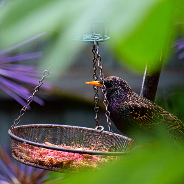 """""""A Starling"""" stock image"""