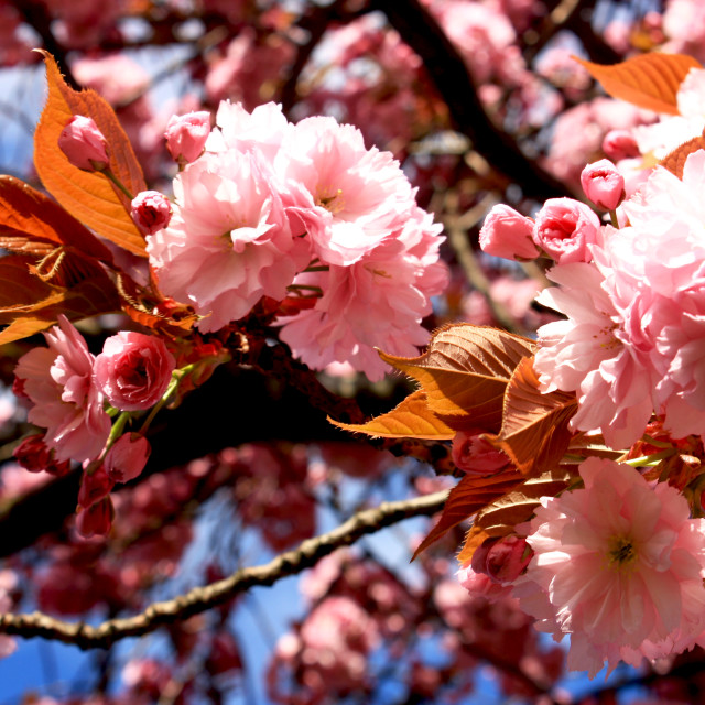 """""""Cherry blossoms"""" stock image"""