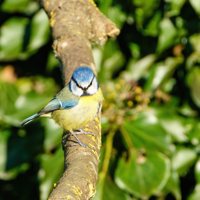 """Blue Tit (Cyanistes caeruleus) perched on a branchlooking to camera, taken in..."" stock image"