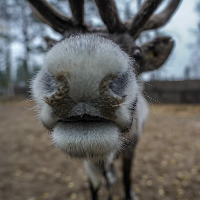 """Reindeer Selfie"" stock image"
