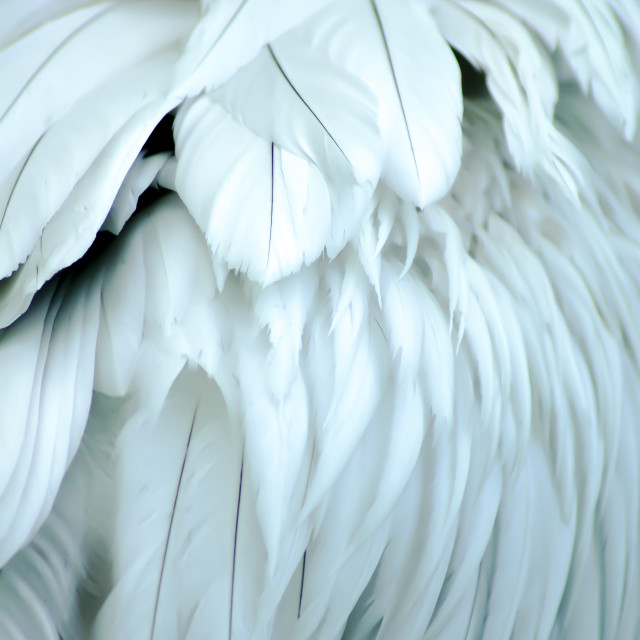 """""""The white feathers"""" stock image"""
