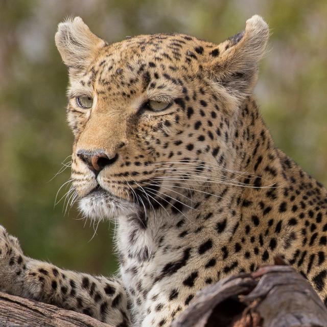 """Leopard resting"" stock image"