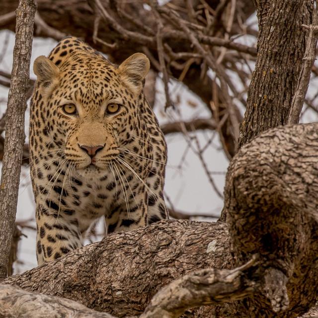"""Leopard in tree"" stock image"