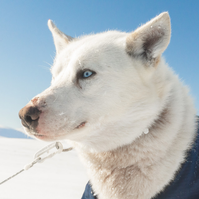 """Dogs from my Arctic Expedition"" stock image"