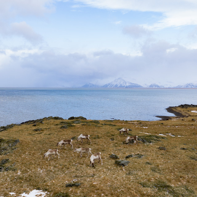 """Reindeers in Iceland"" stock image"