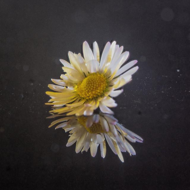 """""""Grungy Daisy"""" stock image"""