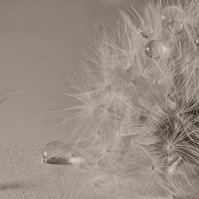 """Grey Dandelion clocks"" stock image"