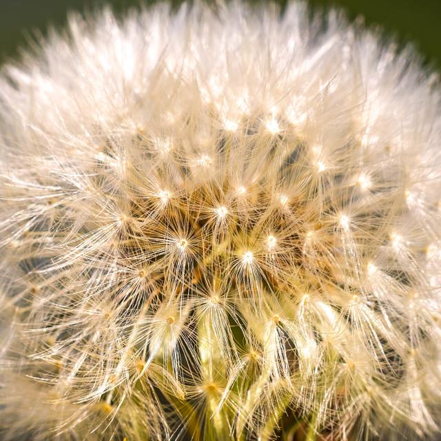 """""""Dandelion in Macro."""" stock image"""