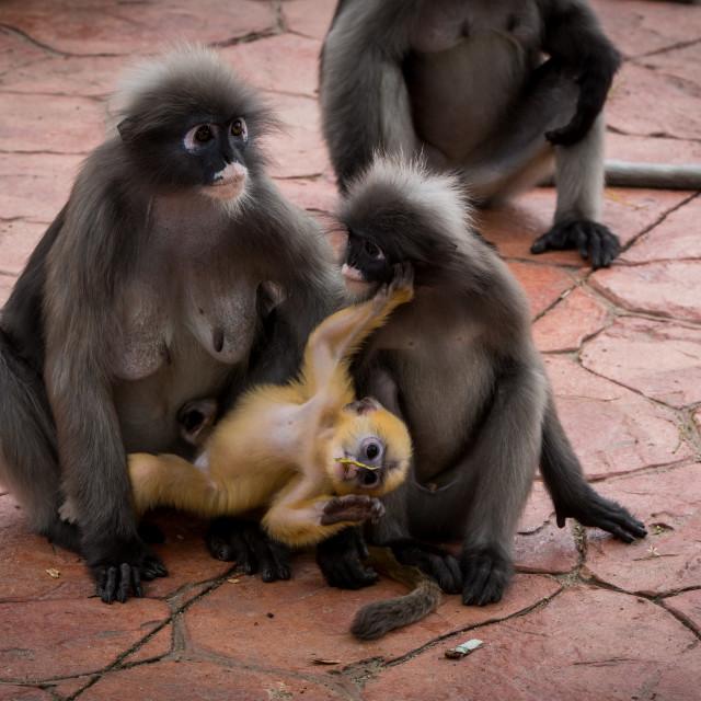 """""""two Dusky monkeys holding a baby orange monkey"""" stock image"""