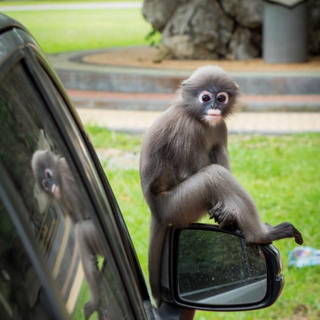 """""""Dusky Monkey sitting on mirror of car"""" stock image"""