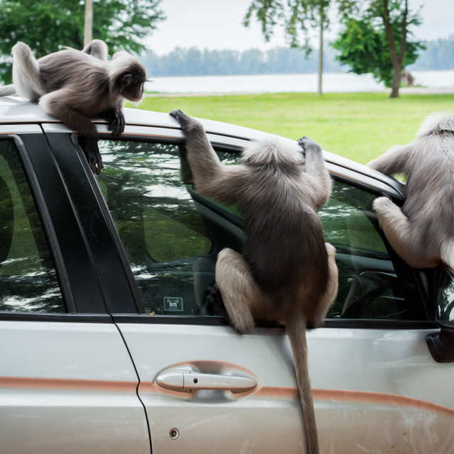 """""""Three Dusky Monkees sitting on car and looking inside"""" stock image"""