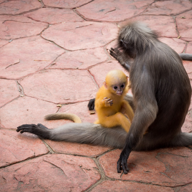 """""""Mother Dusky monkey holding orange baby on sidewalk with other monkey watching"""" stock image"""