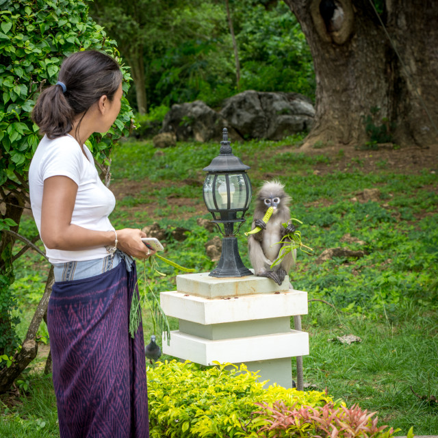 """""""Woman in Sarong looking at Dusky Monkey eating"""" stock image"""