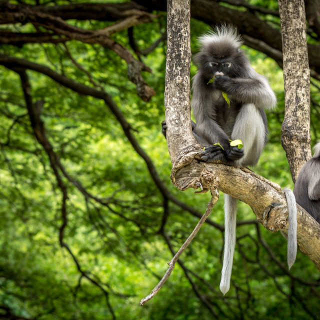 """""""Dusky Monkeys sitting in the trees with tails hanging"""" stock image"""