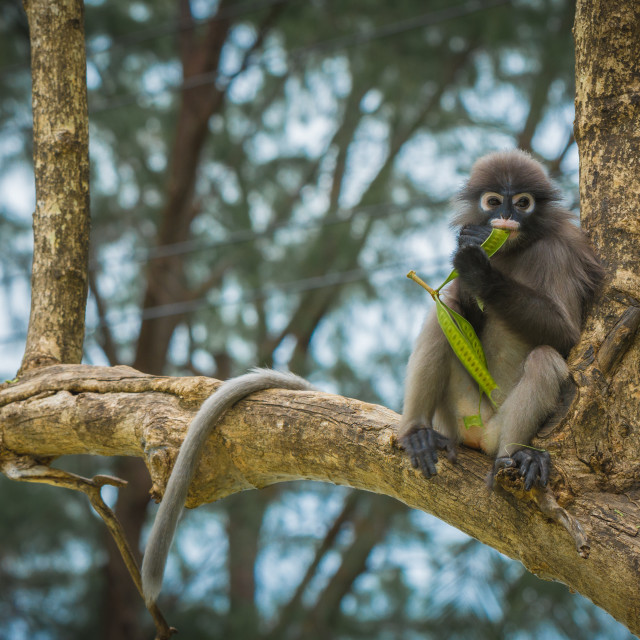 """""""Dusky Monkey sitting in the trees with tail hanging"""" stock image"""
