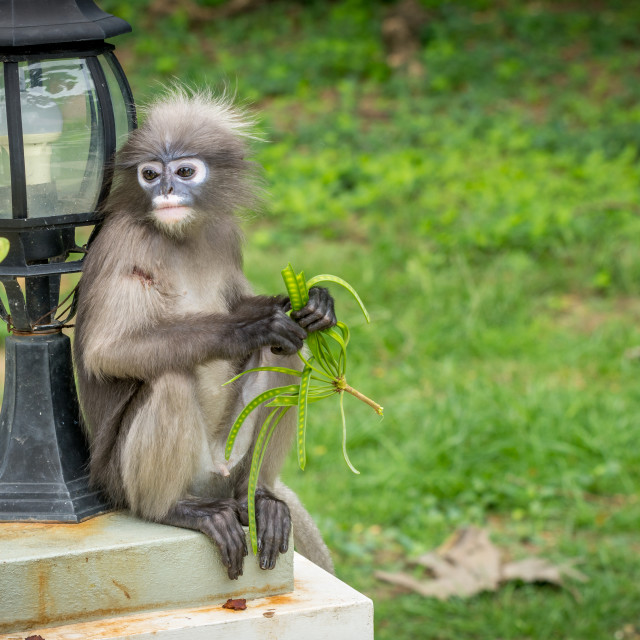 """""""Dusky Monkey sitting next to lamp being fed a bean"""" stock image"""