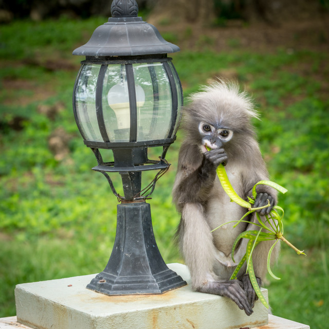 """Dusky Monkey sitting next to lamp eating a bean"" stock image"