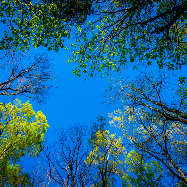 """""""Looking up at trees with a blue sky in the background"""" stock image"""