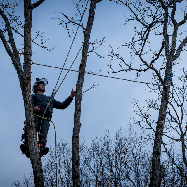"""""""Worker with chainsaw and helmet cutting down tree"""" stock image"""