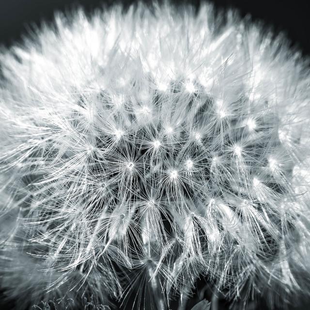 """Dandelion, Macro Black and White."" stock image"