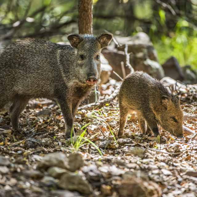 """""""Female Javalina, or Collared Peccary (Pecari tajacu), with young foraging for..."""" stock image"""
