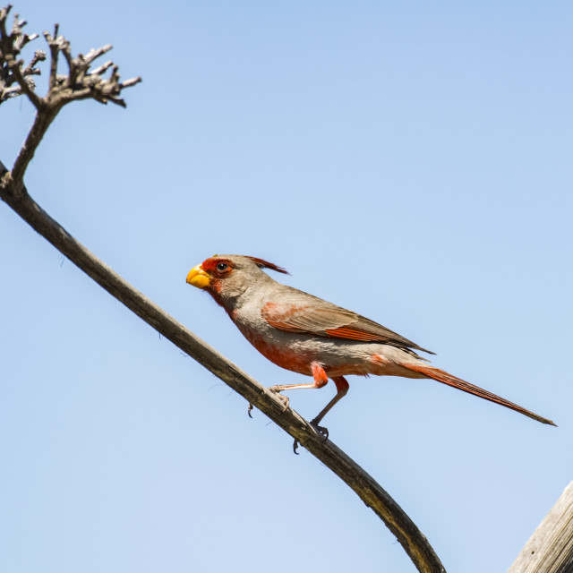 """""""Male Pyrrhuloxia (Cardinalis sinuatus) perched on a dead Agave branch in the..."""" stock image"""