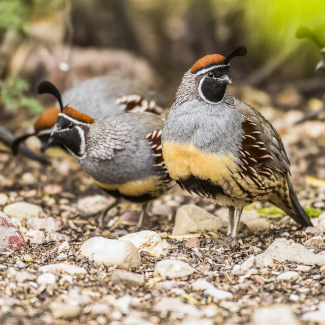 """""""Group of Gambel's Quail (Callipepla gambelli) in the foothills of the..."""" stock image"""