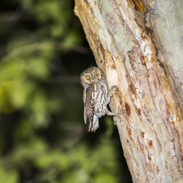 """""""Elf Owl (Micrathene whitneyi) perched by its nest cavity in a sycamore tree..."""" stock image"""