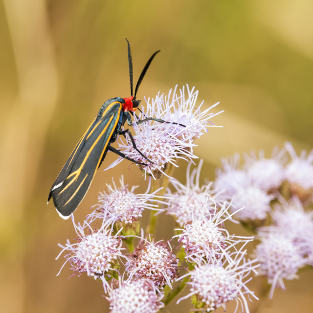 """""""Colourful moth feeding on purple flowers in Cave Creek Canyon of the..."""" stock image"""