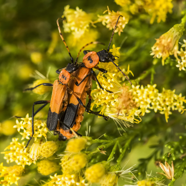 """""""Two orange and black beetles on yellow flowers in Cave Creek Canyon of the..."""" stock image"""