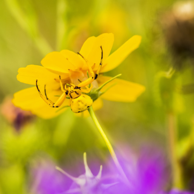 """""""Yellow Crab Spider (Thomisus callidus) on a yellow flower in Cave Creek..."""" stock image"""