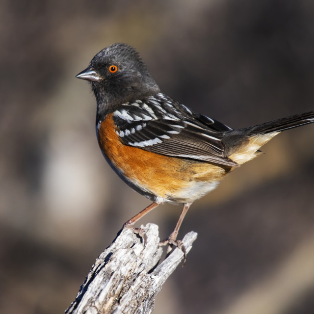 """""""Spotted Towhee (Pipilo maculatus) perched on a stump in the foothills of the..."""" stock image"""