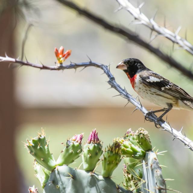 """""""Rose-breasted Grosbeak (Pheucticus ludovicianus) perched on a flowering..."""" stock image"""