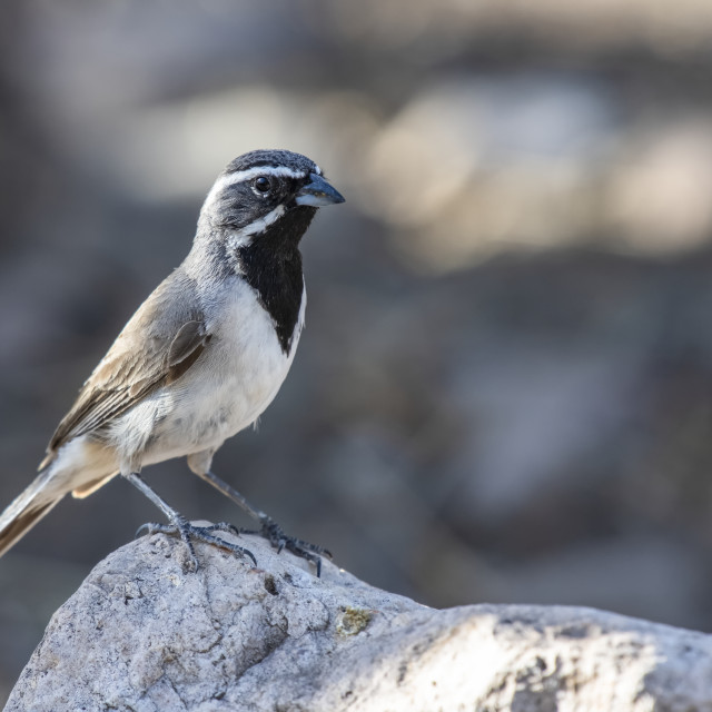 """""""Black-throated Sparrow (Amphispiza billneata) perched on a rock in the..."""" stock image"""