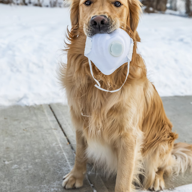 """""""A dog sits on a sidewalk holding a face mask in it's mouth during the..."""" stock image"""